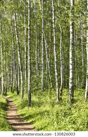 birch forest in the photo