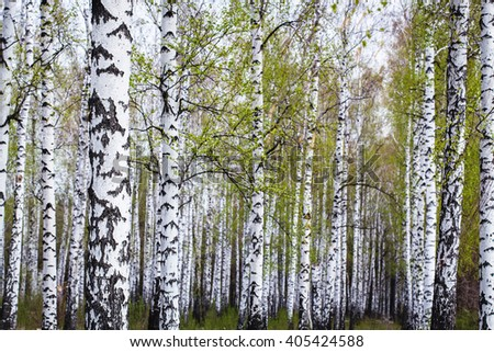 birch forest in the spring - stock photo