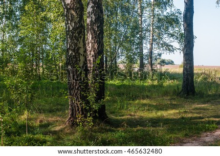 Birch forest. Summer morning. Getting a clear day.