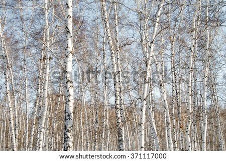 birch forest, winter landscape