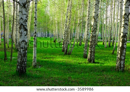 birch forest with long shadows