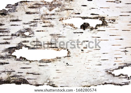 Birch  fragment - stock photo