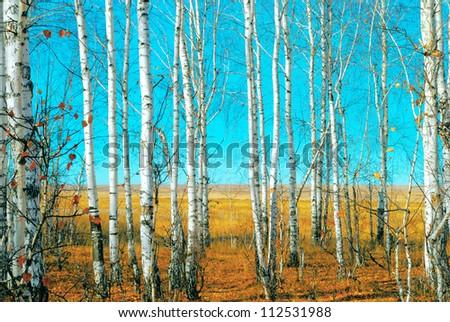 Birch grove - stock photo