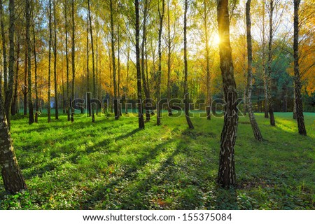 birch grove and sun light between the trees at autumn day