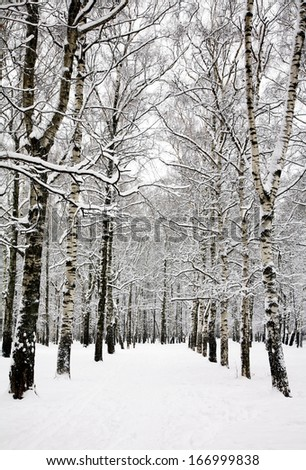 Birch grove in russian winter  - stock photo