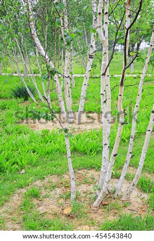 birch in a park, closeup of photo
