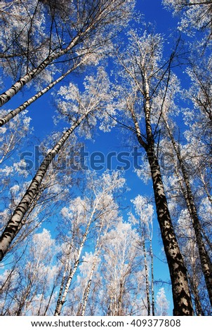 birch in the snow - stock photo
