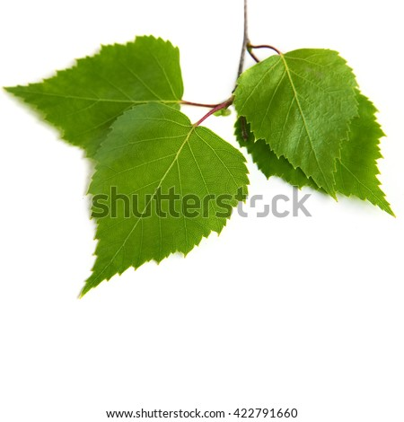 Birch leaves on a white background - stock photo