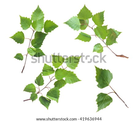 Birch Leaves Set Isolated on White Background - stock photo