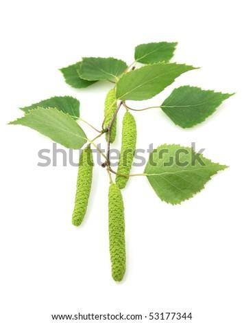 Birch on a white background - stock photo
