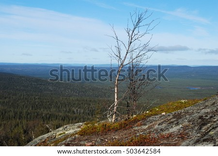 Birch on Kivakka Mountain