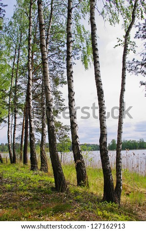 Birch on the lake in the spring