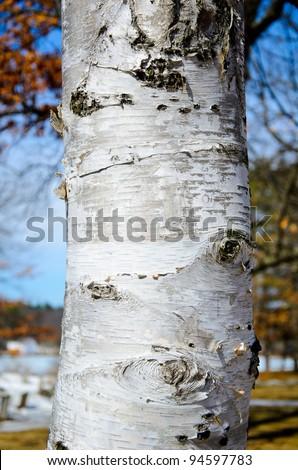 Birch tree - stock photo