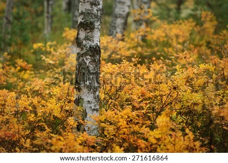 Birch tree and the Autumn bushes - stock photo