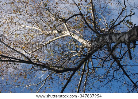 Birch tree and the blue sky in autumn - stock photo