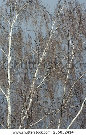 Birch tree (Betula pendula) without leaves in early spring on the dark blue sky background. - stock photo