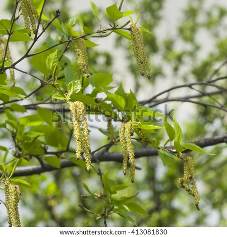 Birch tree catkins and young leaves on branch with bokeh background macro, selective focus, shallow DOF - stock photo