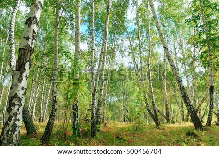Birch tree forest in autumn with sunset sunlight, wide view