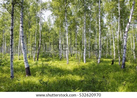 Birch tree forest in Russia in summer