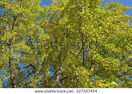 Birch tree from the bottom to top - stock photo
