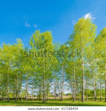 Birch tree grove at spring day time. - stock photo