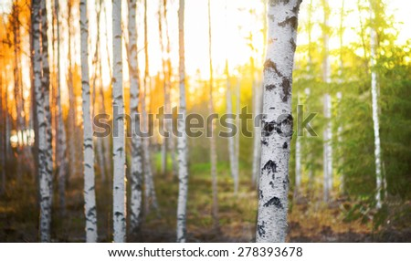 Birch tree in forest at spring sunset with green and orange background - stock photo