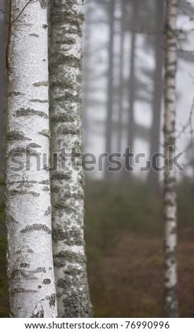 Birch tree in thick fog - stock photo