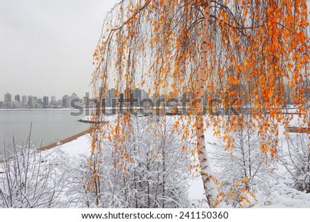 Birch tree in winter with red leaves in Kitsilano park by English Bay, British Columbia, Canada - stock photo
