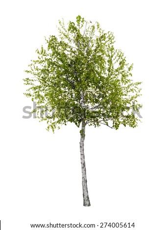 Birch tree isolated - stock photo