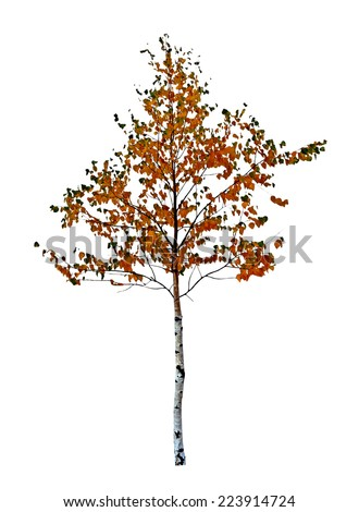 birch tree isolated on white background - stock photo
