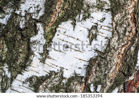 Birch tree macro textured surface in summer with fine details and high resolution