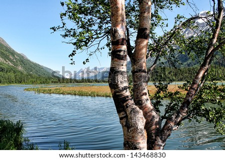 Birch Tree Near Lake