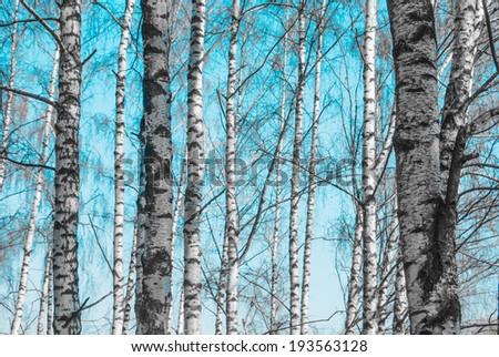 birch tree trunks against blue sky - stock photo