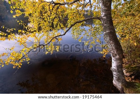 Birch tree with yellow leaves drooped over the lake water