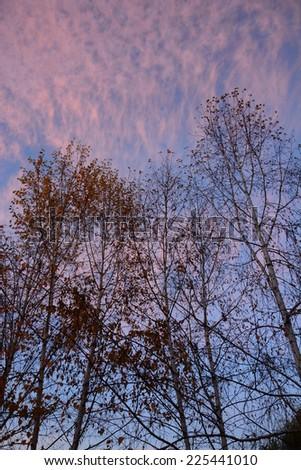 Birch trees against sunset sky - stock photo