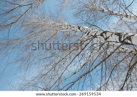 birch trees against the sky - stock photo