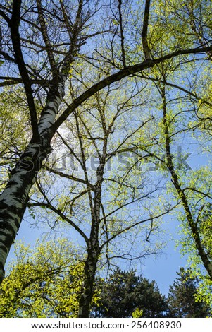 Birch trees from below - stock photo