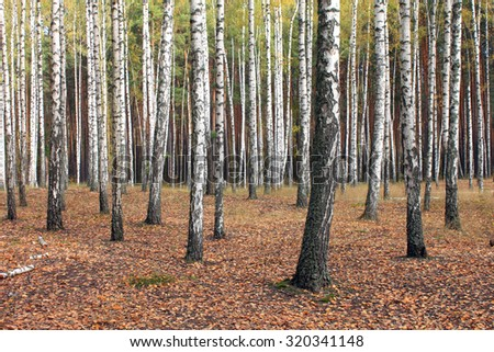Birch trees in autumn forest with yellow leaves in cloudy weather - stock photo