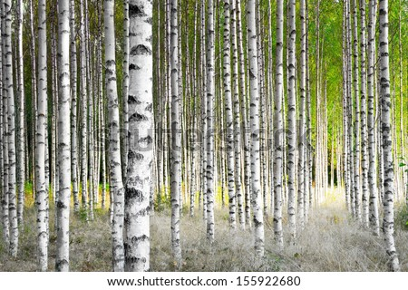 Birch trees in bright sunshine in late summer - stock photo