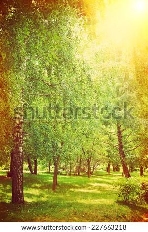 birch trees in the park instagram stile - stock photo