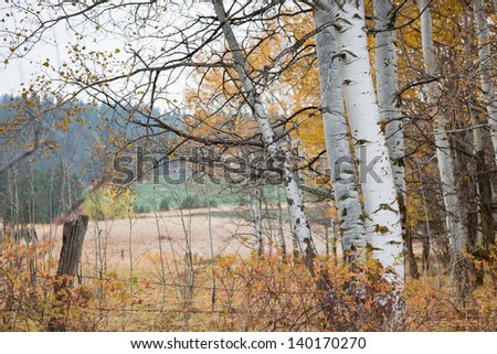 Birch trees with fall colors losing their leaves in a country setting with an old fence and fields in the distance. - stock photo