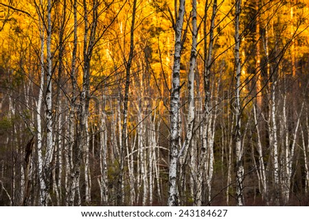 Birch trees with selective focus with sunlit foilage in background