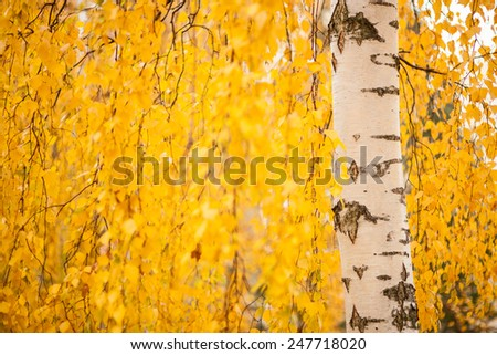 Birch trunk and vibrant yellow leaves - stock photo