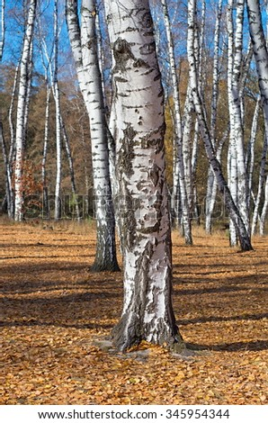 birch trunk in autumn