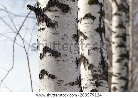 birch trunk in nature