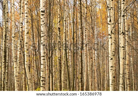 Birch trunks in autumn forest - stock photo
