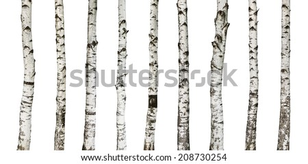 Birch trunks isolated on white background -including clipping path - stock photo