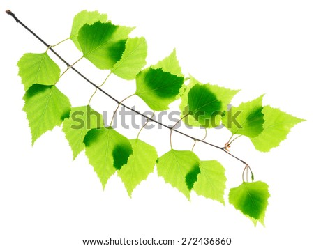 Birch twig with green leaves isolated - stock photo