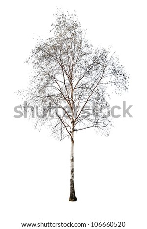 birch without leaves isolated on white background - stock photo