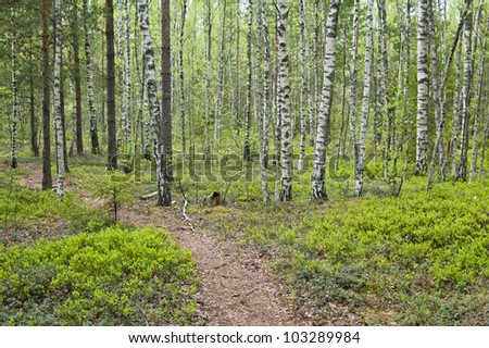 Birch wood with bilberry bushes